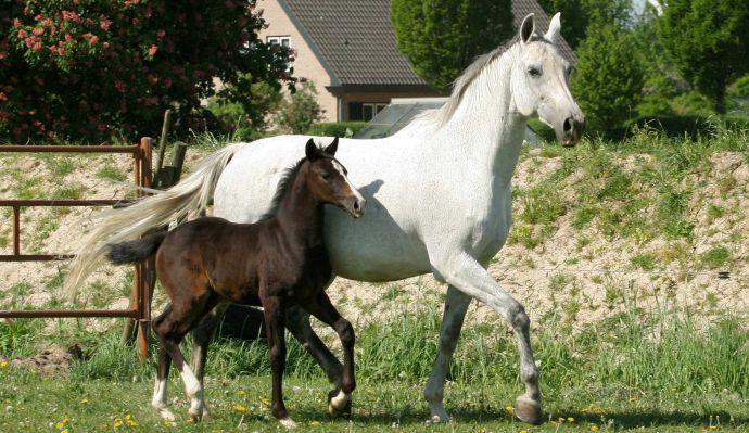 Fokkerij KWPN paarden